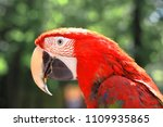 close up. head  macaw parrot on ... | Shutterstock . vector #1109935865