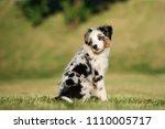 mini australian shepherd puppy... | Shutterstock . vector #1110005717