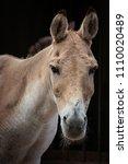 Small photo of Turkmenian kulan (Equus hemionus kulan) portrait