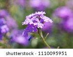 purple flowers in the field... | Shutterstock . vector #1110095951