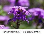 purple flowers in the field... | Shutterstock . vector #1110095954