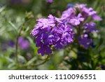 purple flowers in the field... | Shutterstock . vector #1110096551