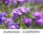purple flowers in the field... | Shutterstock . vector #1110096554