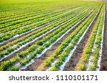 peanuts in the field  lush... | Shutterstock . vector #1110101171