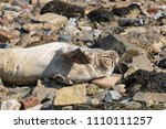 seal on the seashore of the... | Shutterstock . vector #1110111257