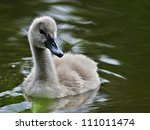 Cygnet   Swan Baby In Green Lake