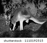 Crouching Kangaroo In Black An...