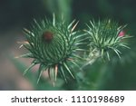 thistle blooming on a garden.... | Shutterstock . vector #1110198689