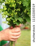 Small photo of Female hands holding beautiful bouquet of lady's mantle (alchemilla) blossom. Collecting herbs in garden.