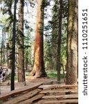 mariposa grove of giant... | Shutterstock . vector #1110251651