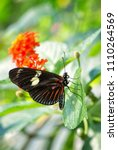 Small photo of Doris Longwing - Laparus doris, beautiful colorful butterfly from New World.