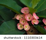 Small photo of Crown of thorns or Christ Thorn flower - Euphorbia milli - pink color on green leaf. Crown of Thorns flower. Red flower with thorns. Soft focus.