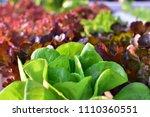 fresh lettuce  butterhead  red... | Shutterstock . vector #1110360551