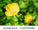 uncultivated creeping buttercup ... | Shutterstock . vector #1110365084