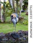 West African Crownet Crane In...