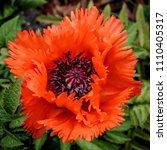 Red Oriental Poppy  Papaver...