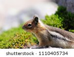 A Golden Mantled Squirrel...
