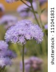 Small photo of Ageratum houstonianum in the garden
