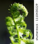 Small photo of Close up of a bright green fern frond that is unrolling in the spring. Photographed with a shallow depth of field.