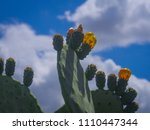 ripe fruits of prickly pears  ...   Shutterstock . vector #1110447344