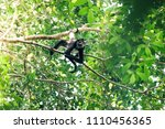 a spider monkey moving through... | Shutterstock . vector #1110456365
