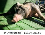 hog waiting feed. pig indoor on ... | Shutterstock . vector #1110460169