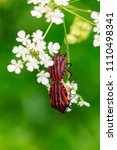 two striped red black bugs mate ... | Shutterstock . vector #1110498341