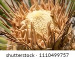 Female Cone Of Sago Palm ...