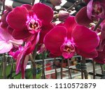 beautiful vivid red orchid in... | Shutterstock . vector #1110572879
