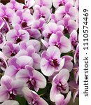 fresh beautiful vivid orchid in ... | Shutterstock . vector #1110574469