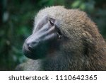 a captive old yellow baboon ... | Shutterstock . vector #1110642365