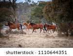 wild and free brumby horses in... | Shutterstock . vector #1110644351