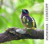 beautiful bird  banded...   Shutterstock . vector #1110653399