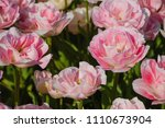 blossoming tulips in the field | Shutterstock . vector #1110673904