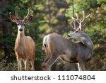 Two mule deer bucks  odocoileus ...