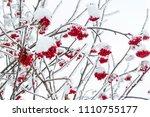 rowan branch in the snow   Shutterstock . vector #1110755177