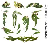 collection of eucalyptus leaves ... | Shutterstock . vector #111081479