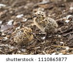 seagull chicks are doing their... | Shutterstock . vector #1110865877