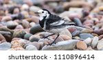 pied wagtail on stony beach | Shutterstock . vector #1110896414