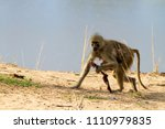 yellow baboon in the south... | Shutterstock . vector #1110979835