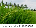 paddy field with single crop in ... | Shutterstock . vector #1110983807