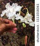 dolichandrone bignoniaceae... | Shutterstock . vector #1111018361