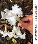 dolichandrone bignoniaceae... | Shutterstock . vector #1111018364
