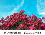 Pink Oleander Against Blue Sky
