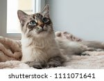 adorable furry cat of seal lynx ... | Shutterstock . vector #1111071641