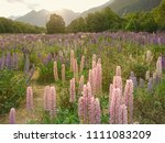 purple lupine meadow with... | Shutterstock . vector #1111083209
