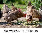 Chickens Pecking Grain On...