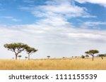 acacia tress in the masai mara  ... | Shutterstock . vector #1111155539