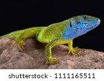 the european green lizard ... | Shutterstock . vector #1111165511