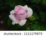 Wet Rose After Rain